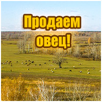 Продаем овец